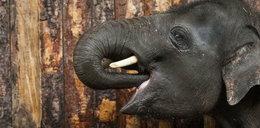 Witaj słoniu w chorzowskim zoo