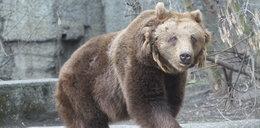 On zaatakował niedźwiedzia w polskim zoo!