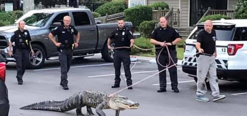 Policjanci prowadzili wielkiego aligatora na sznurku. O co chodzi?