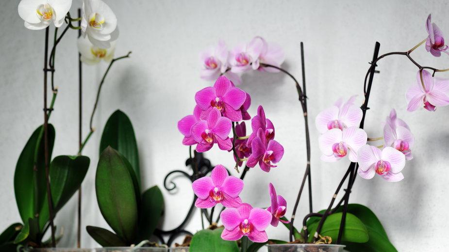 Phalaenopsis jest jednym z najładniejszych storczyków - Anna Khomulo/stock.adobe.com