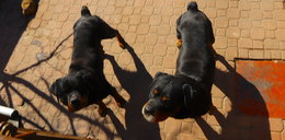 Rottweilery chciały rozszarpać kobietę