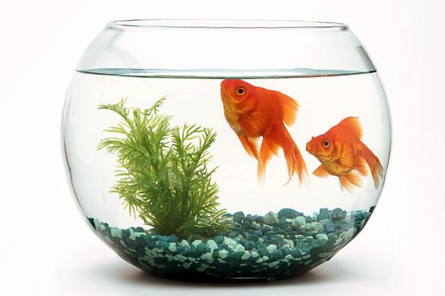 stock-photo-goldfish-fishbowl-716133220
