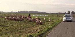 Świnie biegały po drodze. Nietypowy wypadek w Wielkopolsce