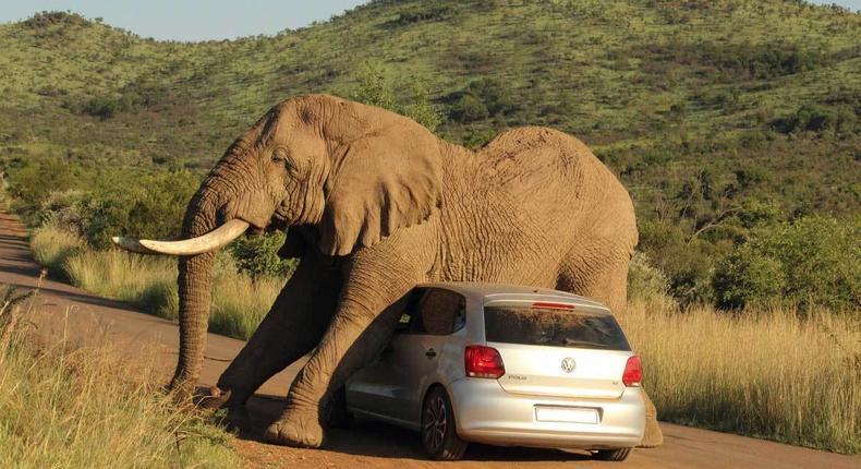 An Elephant taking care of an itch using a car. (earthtouchnews.)