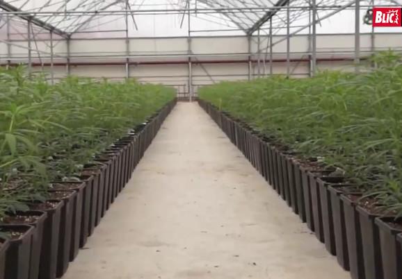 Marihuana u Jovanjici