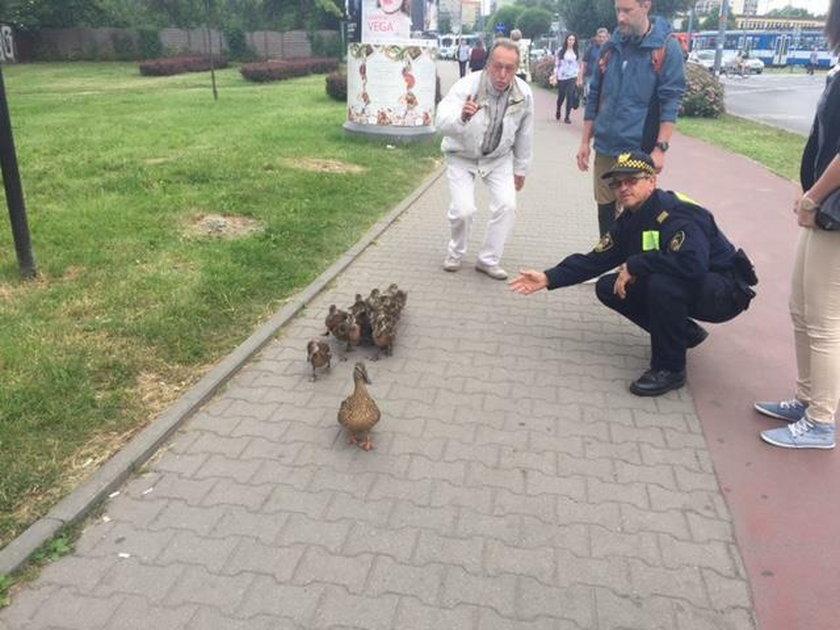 Kaczki spacerowały po Krakowie