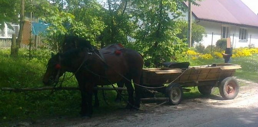 Konie wiozły do domu pijanego woźnicę