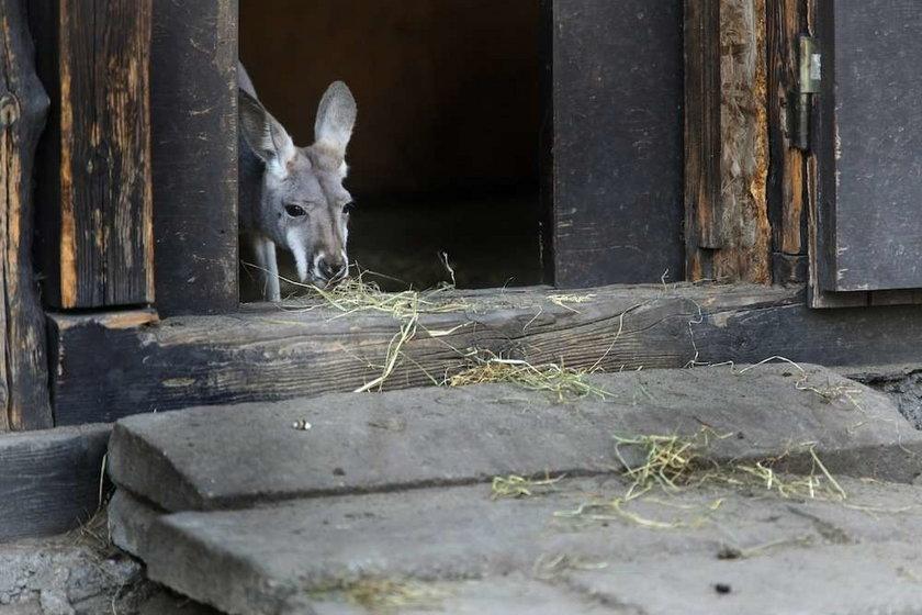 kangur,zoo, warszawski ogród zoologiczny
