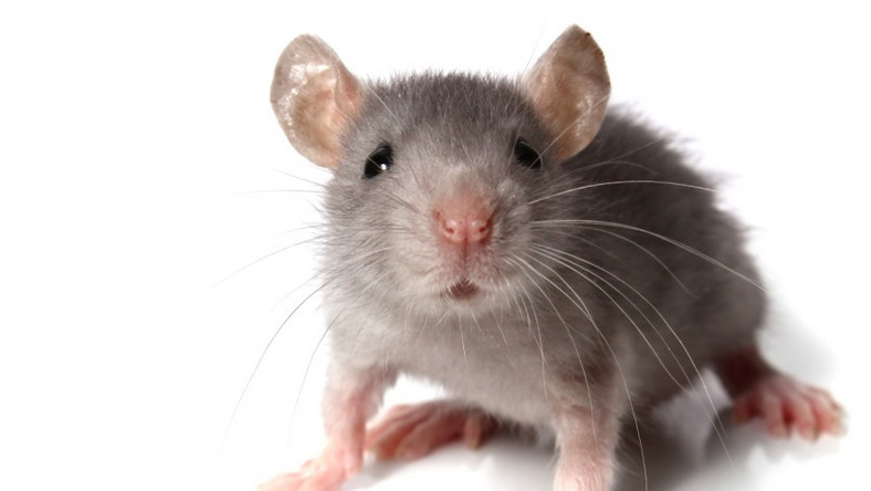 Polscy naukowcy będą prowadzić badania na myszach transgenicznych