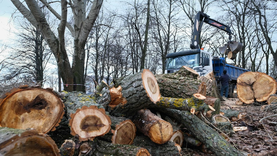 Wycinka drzew na warszawskiej Woli, luty 2020 r.