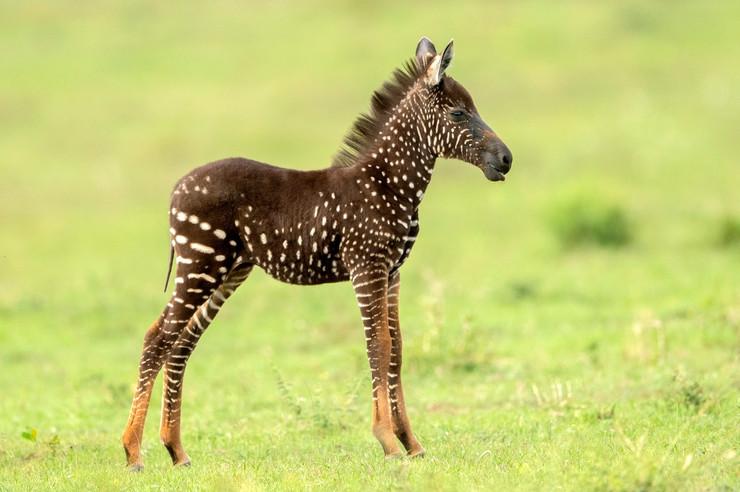 Kenija zebra
