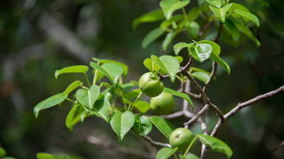 Hippomane mancinella - drzewo śmierci