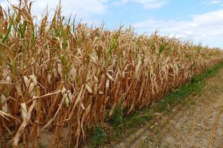 Straty spowodowane suszą: Gminy będą losowo kontrolować wnioski