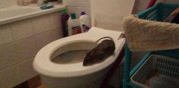 Zgroza. Szczury wychodzą z sedesów! W Polsce
