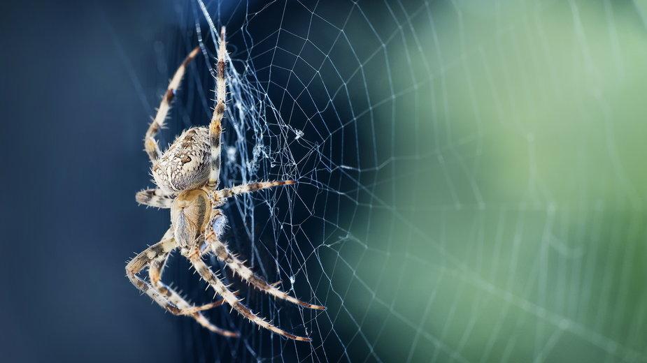 Sen o pająku ma wiele znaczeń - bubblegirlphoto/stock.adobe.com