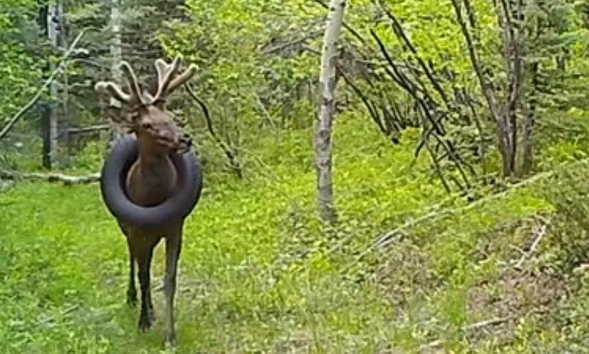 Zwierzę błąkało się przez 2 lata z ważącą 16 kg oponą na szyi.