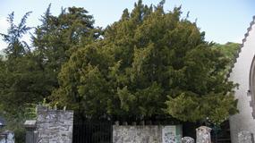 Najstarsze drzewo w Wielkiej Brytanii zmienia... płeć!