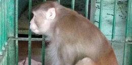 Małpa alkoholiczka atakowała turystów. Czeka ją smutny los