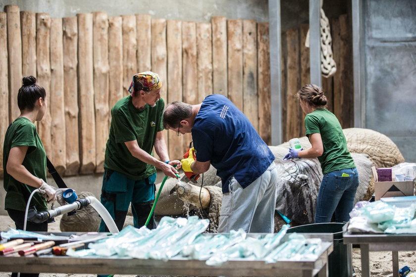 Poznań: operacja słonia Ninio w zoo. Usunięto mu cios