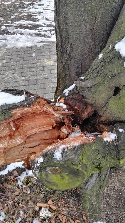 Drzewo w Parku Szczęśliwickim (zdjęcie z grundnia 2016 r.)