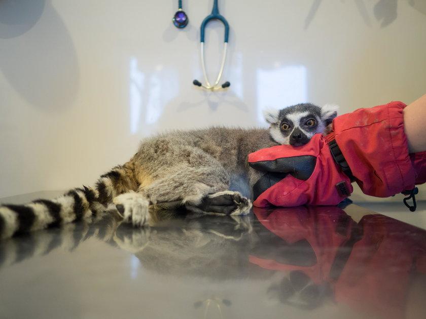 Lemur Julian rehabilitowany po operacji