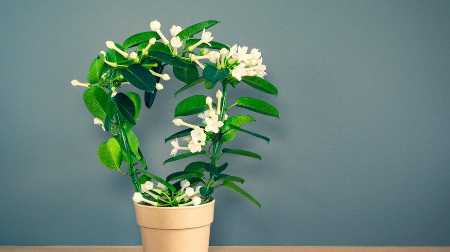 Stefanotis jest rośliną dość trudną w uprawie - napa74/stock.adobe.com