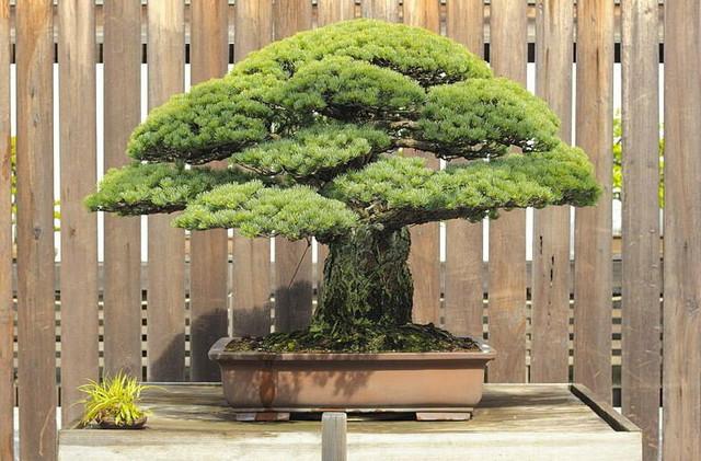Bonsai se svakodnevno zaliva i trebi od insekata, a dvaput nedeljno se rotira u odnosu na sunce