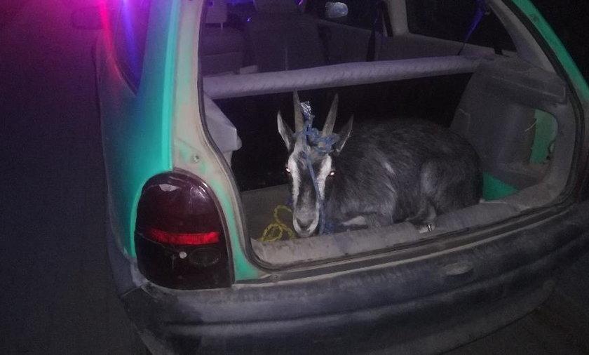 Pijany 18-latek i jego ojciec podróżowali z kozą w bagażniku