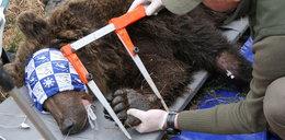 Ten niedźwiedź za bardzo zbliżył się do ludzi. Co z nim zrobili?