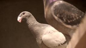 Gołębie - zmora mieszczucha