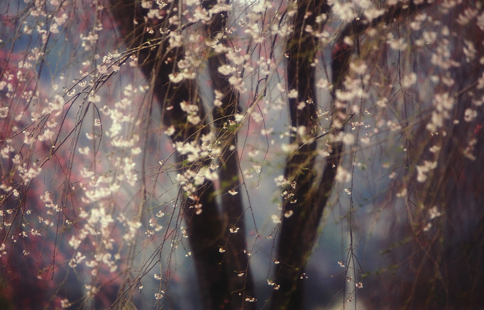 Sakura - Hideyuki Katagiri/National Geographic Traveler Photo Contest
