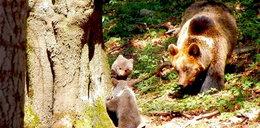Niedźwiadki wyszły na spacerek. Zobacz jak harcują