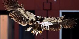 Holandia ćwiczy orły do łapania dronów
