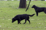 lutalice psi foto S PASALIC
