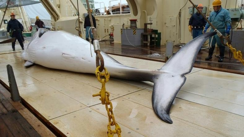 A Japanese whaling fleet has returned to port after an annual Antarctic hunt that killed 333 minke whales as the government pursues the programme in the face of global criticism
