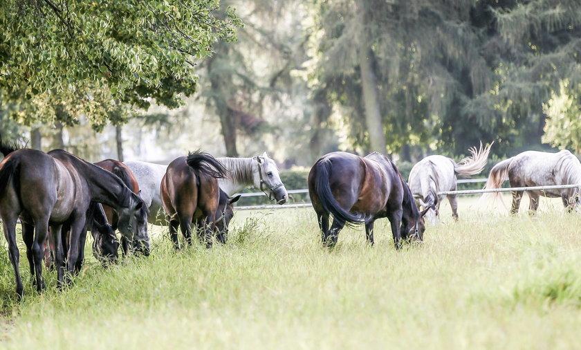 Na zdjęciu grupa pasących się koni w Janowie Podlaskim.