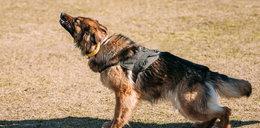 Pies policyjny uciekł i zaatakował kobietę