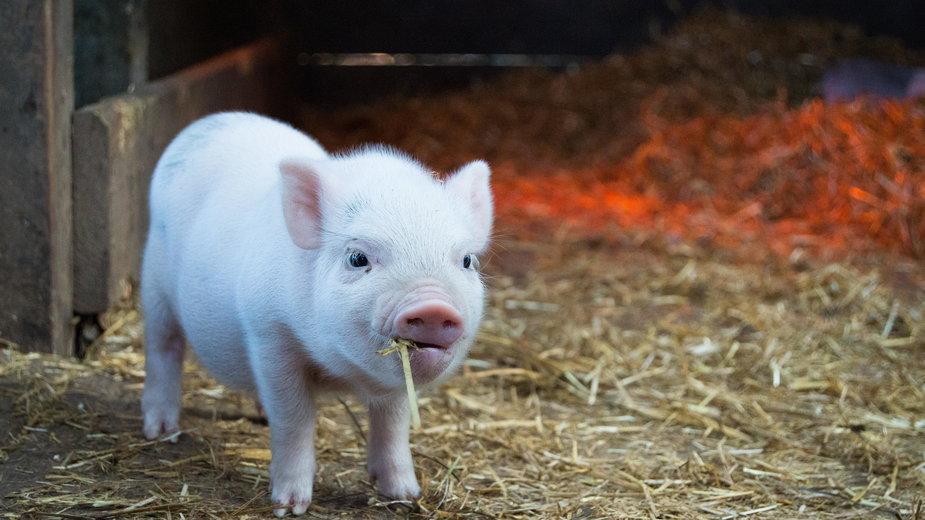 Nie pomijajmy kluczowego problemu świata, jakim jest masowa hodowla i spożywanie zwierząt, bo ma to zasadniczy związek nie tylko z ich cierpieniem, ale z rozwojem wielu wirusów i pandemii