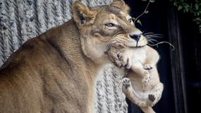 Kolejna kontrowersyjna decyzja kopenhaskiego zoo. Nie żyją cztery lwy