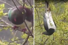 """NIJE ŠALA Golub koji """"pije kao letva"""" proglašen za PTICU GODINE (FOTO, VIDEO)"""