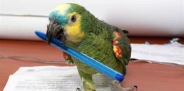 Papuga Sonia pomaga w biurze!