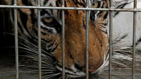 Emiraty zabraniają hodowli egzotycznych zwierząt w domach