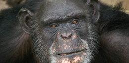 Tym obrazem szympans wygrał konkurs