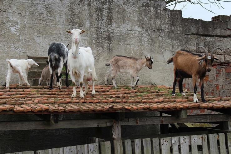 Koze-na-krovu-u-Potkozarju-foto-Milan-Pilipovic