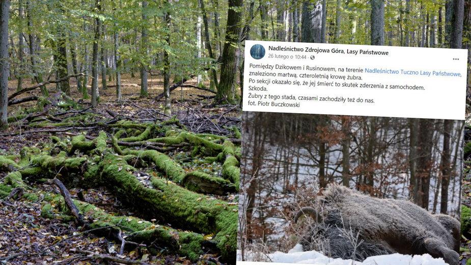 Lasy Państwowe poinformowały o znalezieniu martwego żubra i rysia