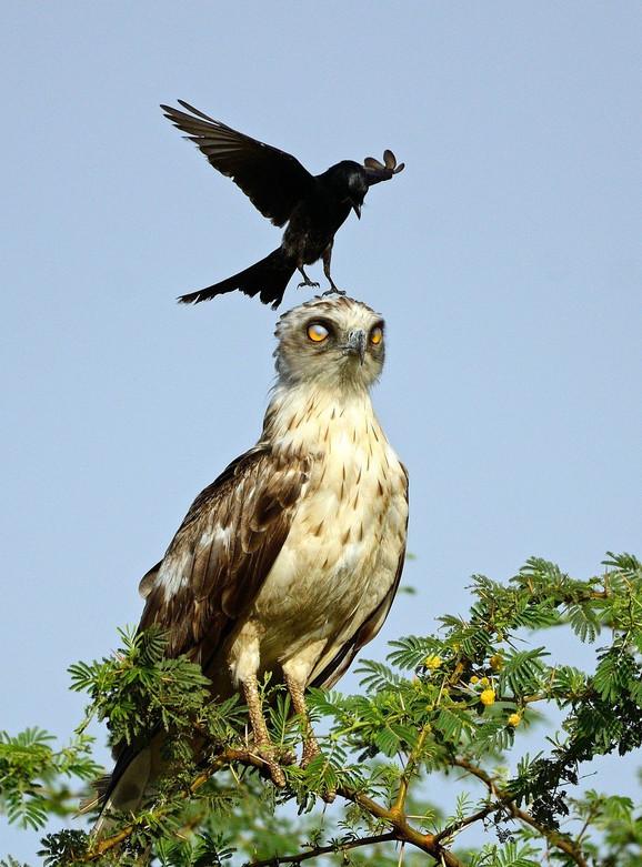 Dosadna vrana i očajan orao