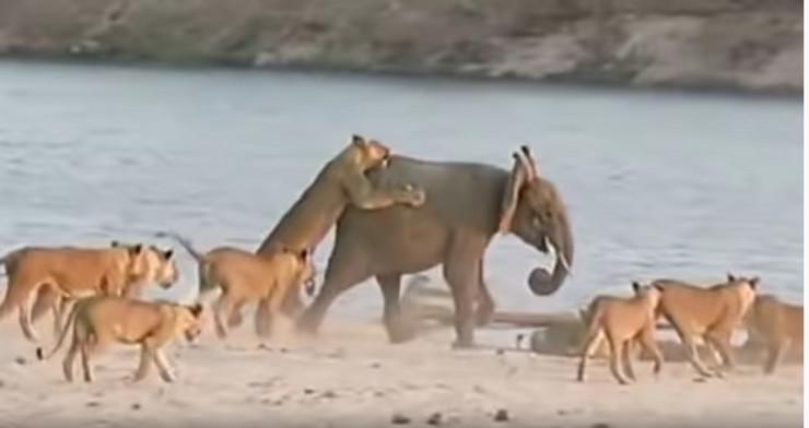 slonce lavovi