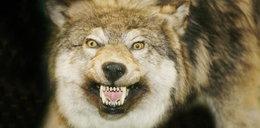 Wilk zjadł nam psa!