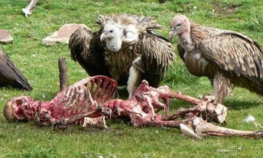 Sępy rozszarpują ludzkie ciało