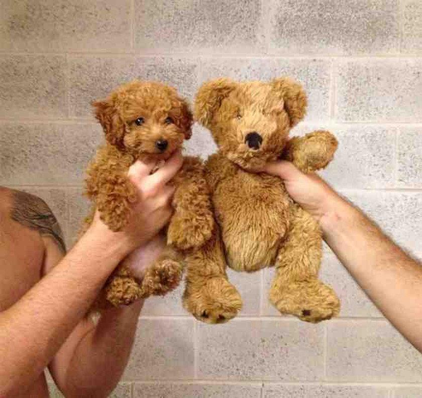 Podobizny psów
